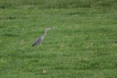 Gray Heron On Grass Fotos de archivo