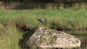 Gray heron stock footage