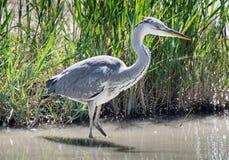 Gray heron Royalty Free Stock Photo