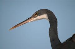 Gray heron head Stock Photo