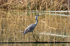 Gray Heron in het moeras royalty-vrije stock foto's