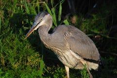 Free Gray Heron Hunting In The Night Stock Photos - 13332463