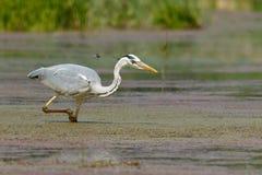 Gray Heron im Sumpf Lizenzfreie Stockfotografie