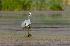 Gray Heron im Sumpf Stockfoto
