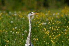 Gray Heron im Sumpf Lizenzfreie Stockbilder