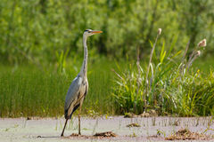 Gray Heron im Sumpf Lizenzfreies Stockfoto