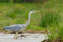 Gray Heron im Sumpf Stockbild