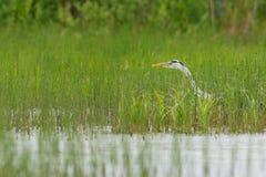 Gray Heron im Sumpf Stockfotos