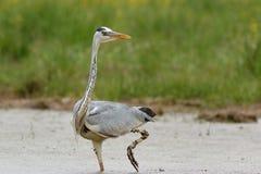 Gray Heron im Sumpf Stockfotografie