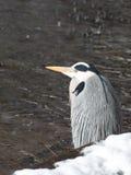 Gray heron Stock Image
