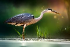 Gray heron on the lake Stock Images