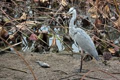 Gray heron (lat. Ardea cinere) Royalty Free Stock Image