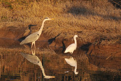 Gray Heron and Little Egret wading Royalty Free Stock Photo