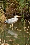 Gray Heron Stock Photography
