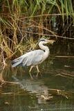 Gray Heron Royalty Free Stock Images