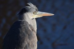 Gray heron looking for his next meal royalty free stock photography