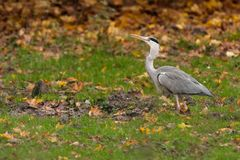 Grey Heron in the mud Stock Image