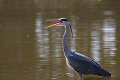 Gray heron stock photos