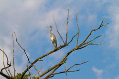 Gray heron in the nature reserve of Rieti in Italy Stock Images