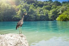 Free Gray Heron On Stones On Background Of The Blue Lagoon. Jamaica Royalty Free Stock Photography - 124348407