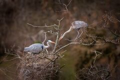 Gray Heron Portrait In Nature Stock Photography