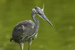 Gray heron portrait Royalty Free Stock Photography