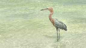 Gray Heron poses in shallows. Stock Image