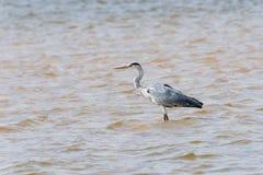 Gray Heron in river. Gray Heron (Ardea cinerea) standing in river, Namibia, 2015 stock photos