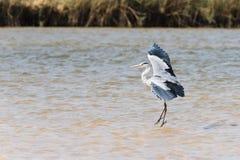 Gray Heron in river. Gray Heron Ardea cinerea standing in river, Namibia, 2015 stock photos