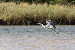 Gray Heron in river. Gray Heron Ardea cinerea standing in river, Namibia, 2015 stock photography