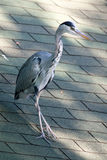 Gray Heron on the roof in the urban setting stock photography