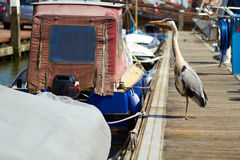 Gray heron searching for fish on a pier near boat in marina. Royalty Free Stock Photo