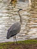 A heron on the shore of a lake stock photos
