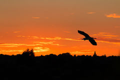 Grey heron. Silhouette of heron flying at sunset Stock Photos