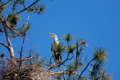 Gray heron sitting on a tree branch Stock Photo