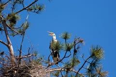 Gray heron sitting on a tree branch Stock Photo