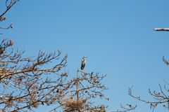 Gray heron sitting on a tree branch Royalty Free Stock Photo