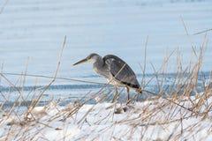 Gray Heron by snowy coast Stock Image