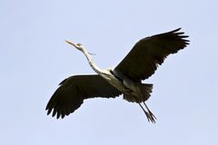 Gray heron soaring over the cloudless sky. Royalty Free Stock Image