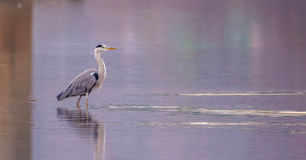Gray heron standing in the calm river waiting for something to eat. Gray heron standing in a river looking for something to eat Royalty Free Stock Images