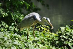 Gray heron standing near the shore - with an insect in its beak Royalty Free Stock Photos