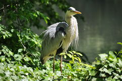Gray heron standing near the shore Royalty Free Stock Photography