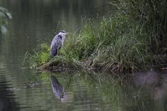 Grey heron. Gray heron standing on the shore of the lake Royalty Free Stock Images