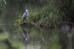 Grey heron. Gray heron standing on the shore of the lake Royalty Free Stock Image
