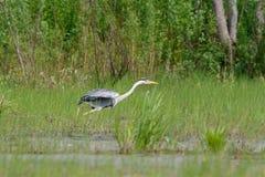 Gray Heron-Stellung Stockfotografie
