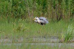 Gray Heron-Stellung Stockfotos