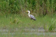 Gray Heron-Stellung Lizenzfreie Stockbilder