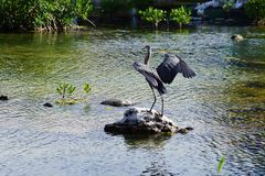 Gray heron on a stone in water. The gray heron with the raised wings became on a stone in water Royalty Free Stock Image