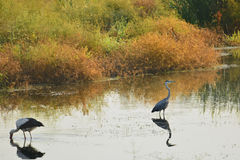 Gray heron and stork on the lake Stock Images