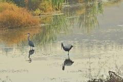 Gray heron and stork on the lake Royalty Free Stock Photo